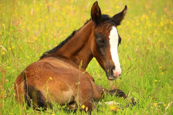 foal-2430936_1920