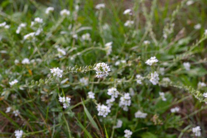 Pospolita roślina toksyczna dla koni? – Pyleniecpospolity